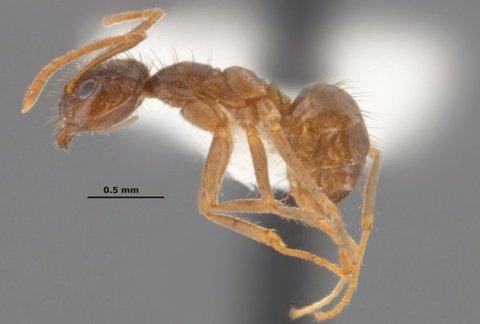 Rasberry Ant