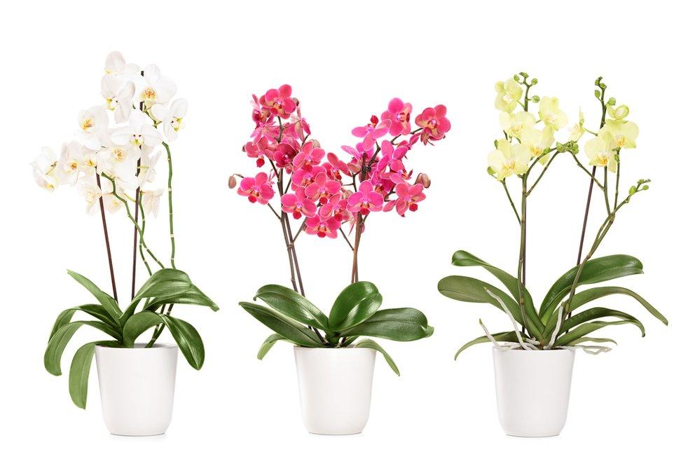 orchideen vermehren so klappt s mit dem orchideen ableger. Black Bedroom Furniture Sets. Home Design Ideas
