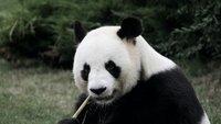 WWF Patenschaft kündigen – so geht es