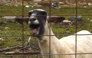 Schreiende Ziegen: Die 10 besten Goat-Edition-Videos mit Skrillex, Bon Jovi, Taylor Swift...