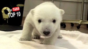 10 lustige Tiervideos von 2014: What Does the Polar Bear Say?