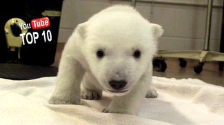 10 lustige Tiervideos von 2014: What Does the Polar Bear Say?