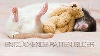 Herzergreifend! Ratten meets Miniatur-Teddybären!
