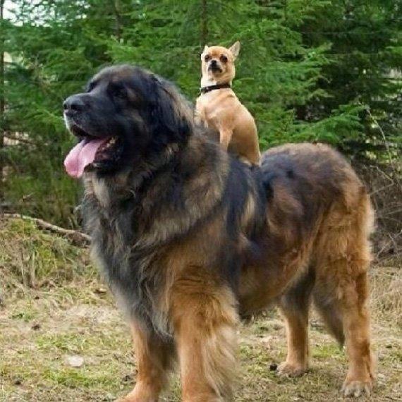Kupierverbot fr Hunde gilt Rassen dennoch legal