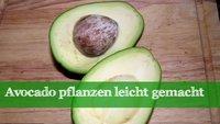 Eine eigene Avocado pflanzen: Nachzucht aus dem Kern
