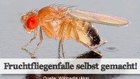 Eine effektive Fruchtfliegenfalle selber machen - ganz einfach!