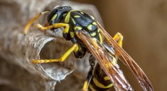 Wespen: Naturschutz und Artenschutz - Regeln und Gründe
