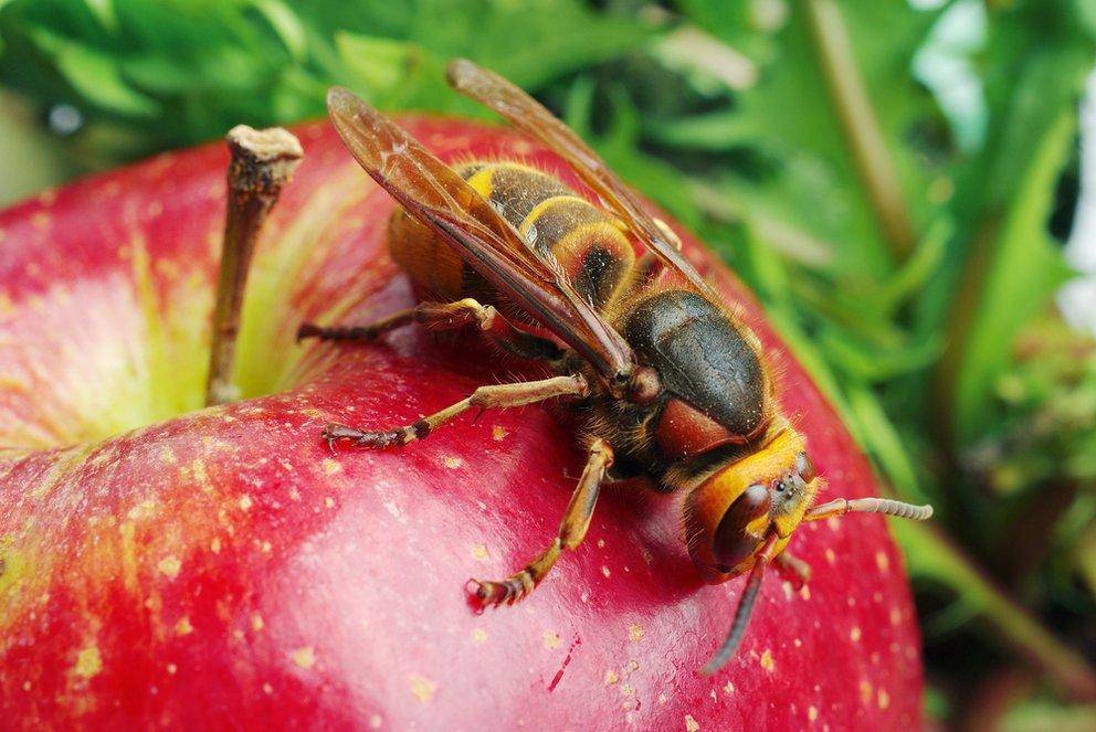 Wespen vertreiben nahaufnahme einer wespe auf einem apfel