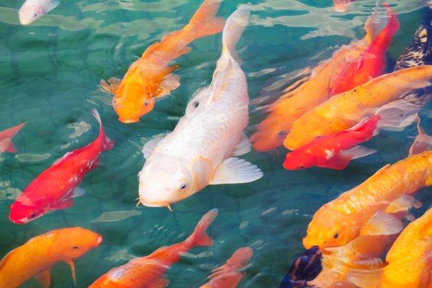Koi-Tattoo: Zur Bedeutung eines schillernden & legendären Fischs