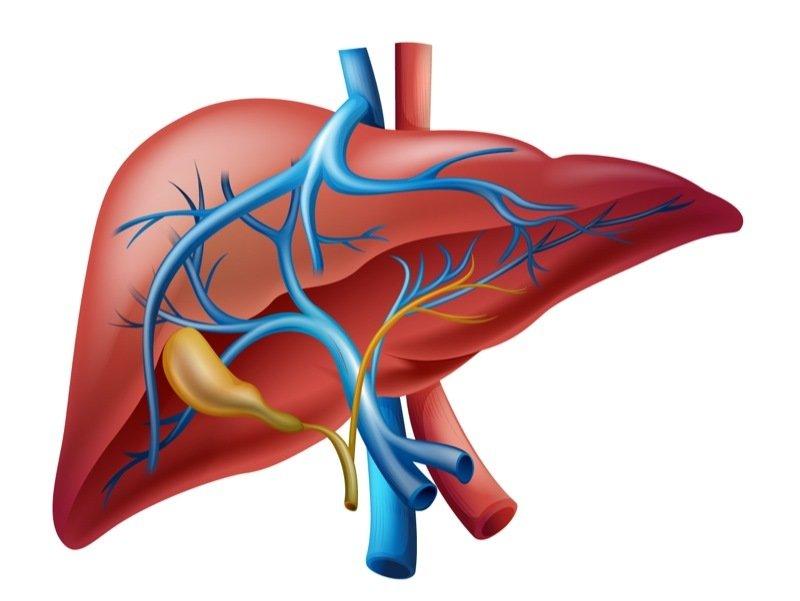 Anatomie für Einsteiger: Wo sitzt die Leber? – GIGA
