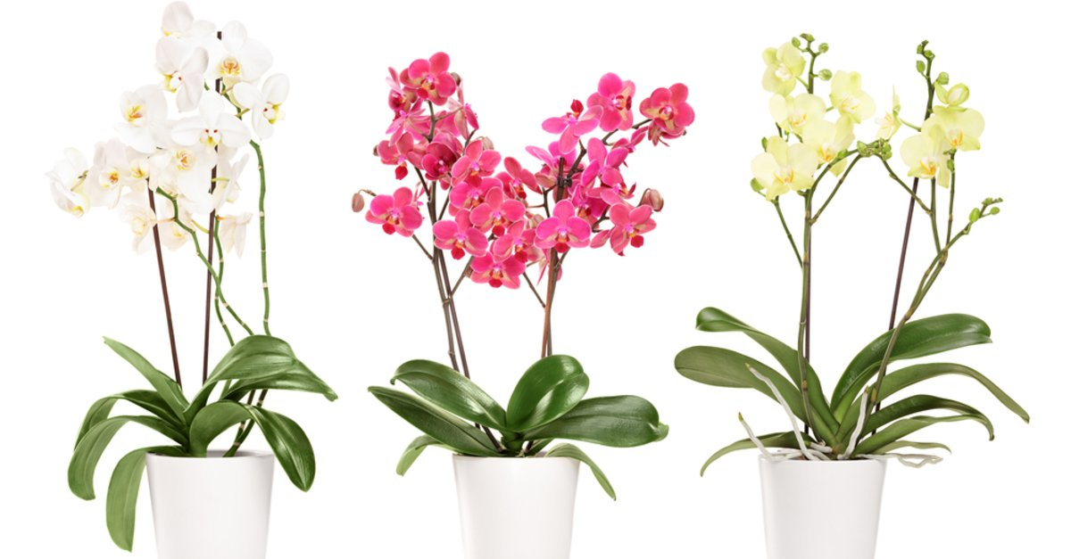 orchideen vermehren ableger. Black Bedroom Furniture Sets. Home Design Ideas