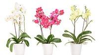Orchideen vermehren: So klappt's mit dem Orchideen-Ableger