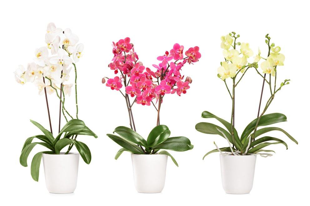 orchideen umtopfen orchideen pflege ganz einfach giga. Black Bedroom Furniture Sets. Home Design Ideas