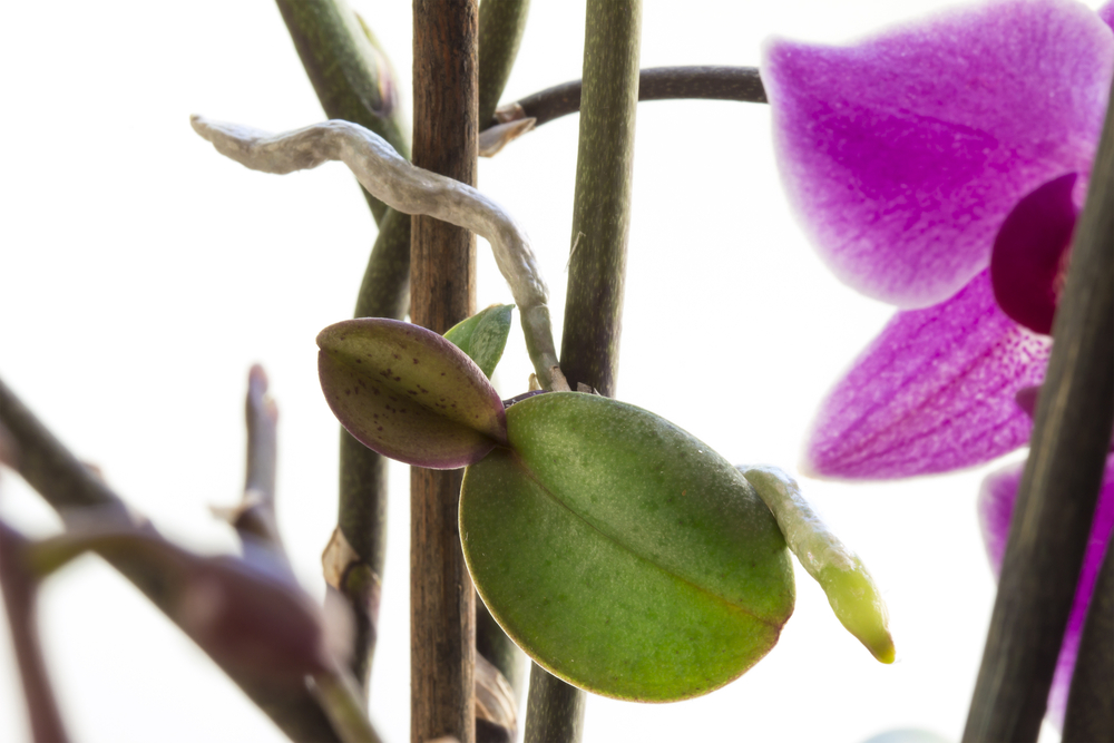 orchideen vermehren so klappt s mit dem orchideen ableger giga. Black Bedroom Furniture Sets. Home Design Ideas