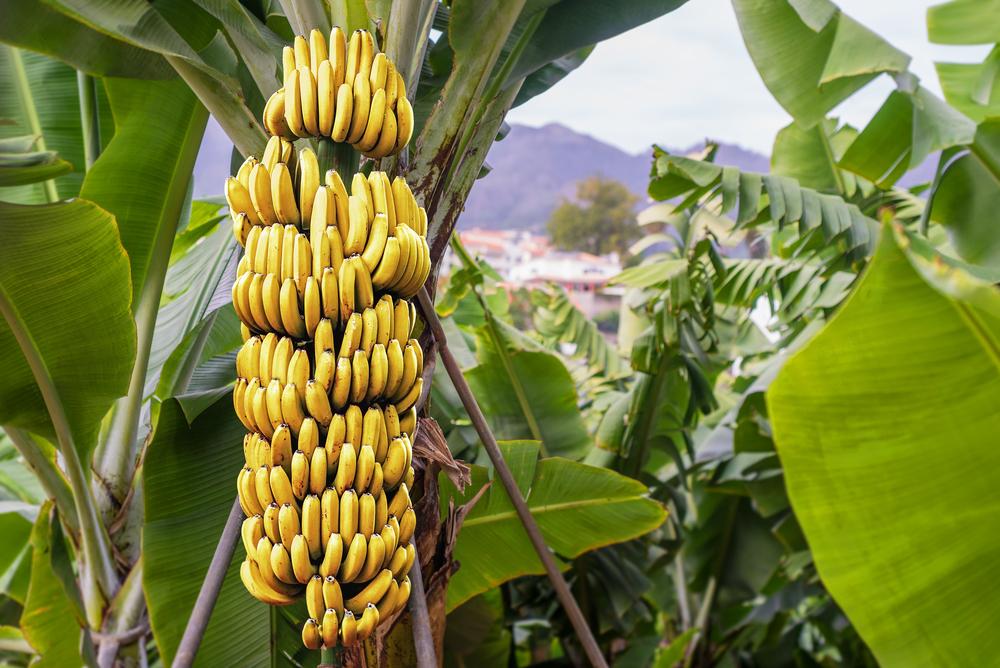 Atemberaubend Bananenspinne im Obst: Wie groß und wie giftig sind sie? Welche &MW_91