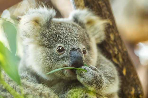 EM 2016-Orakel: So tippen Koala Oobi-Ooobi, Krake Anna und Co. die Spiele der deutschen Nationalelf [Update]