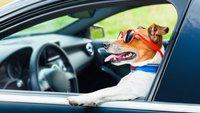 Hund im Auto: Vorschriften, Tipps und Tricks für das Fahren mit Tieren