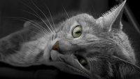 Sheba- und Whiskas-Katze: Die Rassen aus der Werbung