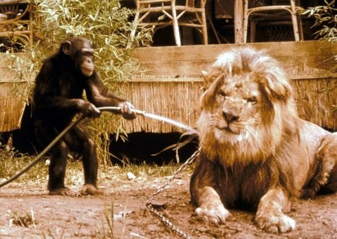 daktari loewe und schimpanse