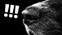 Hundenase aus Plastik verbessert Sprengstoff-Detektoren um Faktor 16