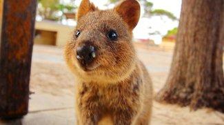 Quokka-Selfie: Das glücklichste Tier der Welt im Selfie-Wahn