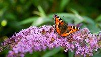 Schmetterlinge bestimmen: Die besten Apps für Android & iOS