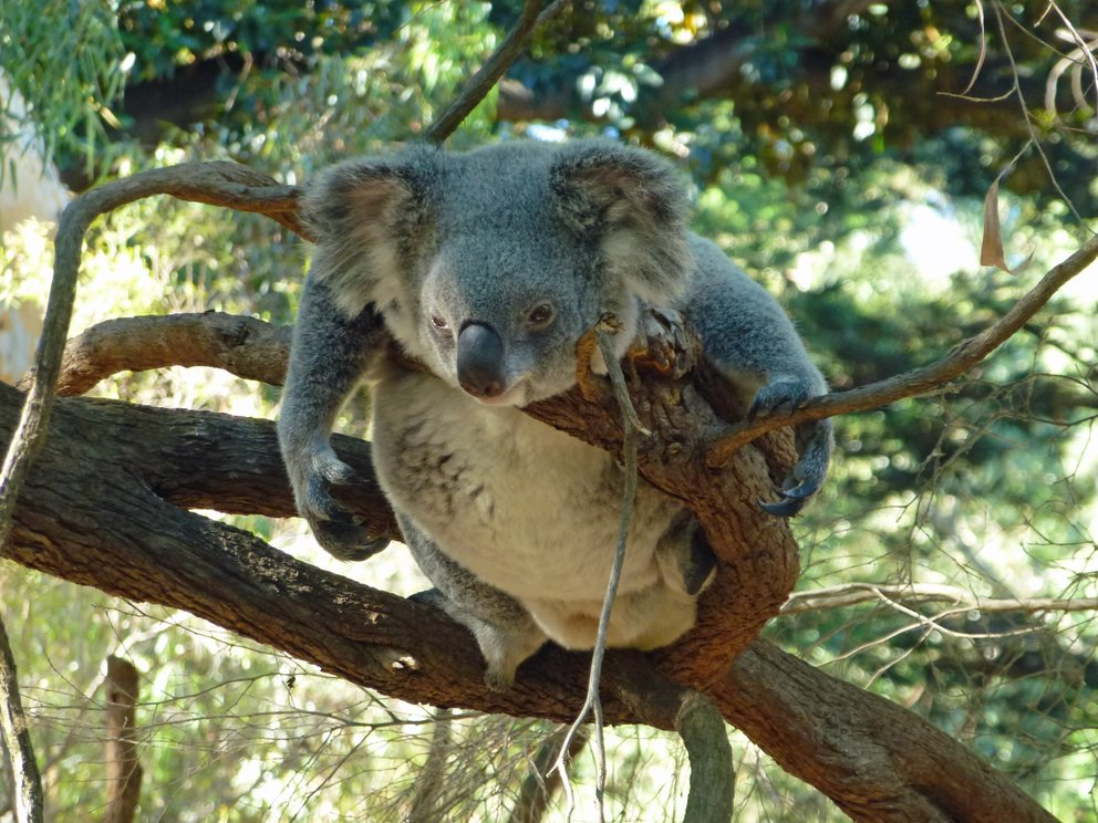 drop-bear-GettyImages-609814736