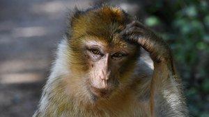 Affe bekommt Gehirnimplantate eingesetzt – und wird zum telepathischen Gamer