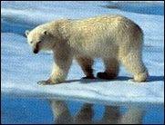Bedrohte Tiere: Eisbär soll auf die Liste!