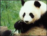 Die Pandas kommen