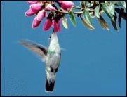 Kleine Flugwunder: Kolibris benutzen ganz eigene Technik